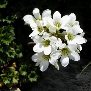 Evaiezoa geranioides (L.) Raf. [1837] (Saxifrage faux géranium)