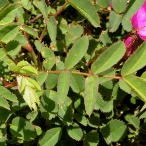 Photographie n°78975 du taxon Rosa rubiginosa L.