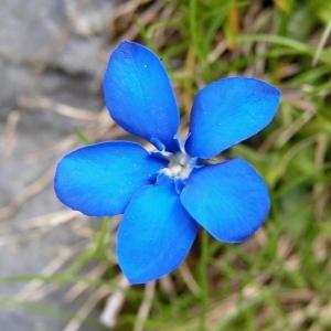 Gentiana verna L. [1753] (Gentiane de printemps)