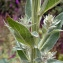 Emmanuel Stratmains - Verbascum pulverulentum Vill.