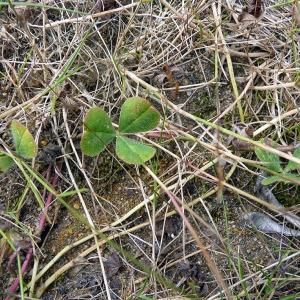 Photographie n°79068 du taxon Trifolium subterraneum L. [1753]
