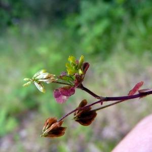 Photographie n°79069 du taxon Trifolium micranthum Viv. [1824]