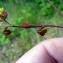 Emmanuel Stratmains - Trifolium micranthum Viv. [1824]