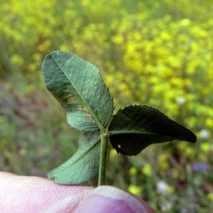Photographie n°79080 du taxon Trifolium hybridum L. [1753]
