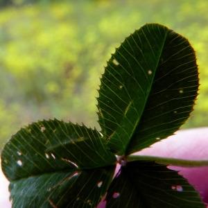 Photographie n°79082 du taxon Trifolium hybridum L. [1753]
