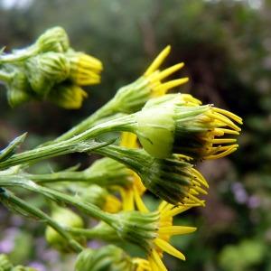 Photographie n°79098 du taxon Senecio jacobaea L. [1753]