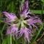 Joceline Chappert-bessiere - Dianthus superbus L.
