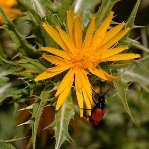 Scolymus hispanicus L. (Chardon d'Espagne)