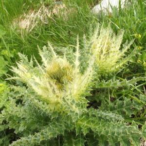 Cirsium spinosissimum (L.) Scop. (Cirse épineux)