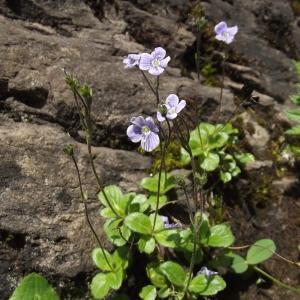 Photographie n°79290 du taxon Veronica aphylla L.