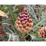 Rhaponticum coniferum (L.) Greuter subsp. coniferum