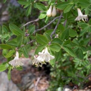 Lonicera pyrenaica L. (Camérisier des Pyrénées)