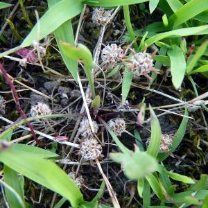 Photographie n°79317 du taxon Trifolium glomeratum L. [1753]