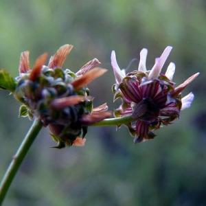 Photographie n°79320 du taxon Trifolium glomeratum L. [1753]