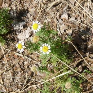 Photographie n°79353 du taxon Tripleurospermum inodorum (L.) Sch.Bip. [1844]