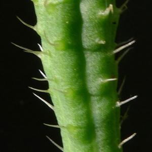 Photographie n°79385 du taxon Papaver argemone L. [1753]
