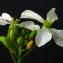 Bertrand BUI - Raphanus sativus L. [1753]