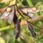 Marie  Portas - Vicia hirsuta (L.) Gray [1821]
