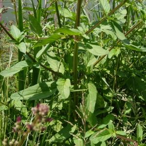 Photographie n°79490 du taxon Scrophularia oblongifolia subsp. umbrosa (Dumort.) Gamisans [1992]