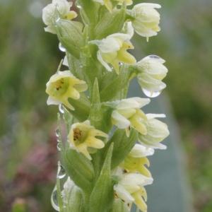 Photographie n°79520 du taxon Pseudorchis albida subsp. albida
