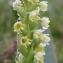 Marie  Portas - Pseudorchis albida subsp. albida