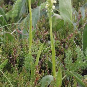 Photographie n°79521 du taxon Pseudorchis albida subsp. albida