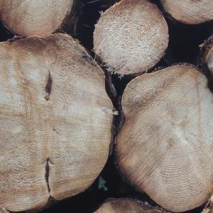 Photographie n°79634 du taxon Picea abies (L.) H.Karst.