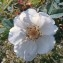 Genevieve Botti - Rosa pimpinellifolia L. [1759]