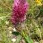 Liliane Roubaudi - Trifolium purpureum Loisel. [1807]