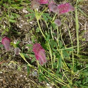 Photographie n°79716 du taxon Trifolium purpureum Loisel. [1807]
