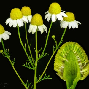 Photographie n°79817 du taxon Matricaria recutita L.