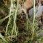 Alain Bigou - Helichrysum stoechas (L.) Moench [1794]