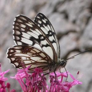 Photographie n°79947 du taxon Centranthus ruber (L.) DC. [1805]