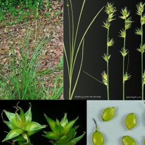 Photographie n°79951 du taxon Carex divulsa subsp. leersii (Kneuck.) W.Koch [1923]