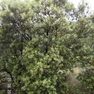 Photographie n°79953 du taxon Quercus ilex L. [1753]