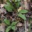 Alain Bigou - Prunella laciniata (L.) L. [1763]