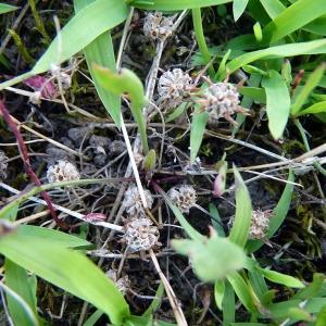 Photographie n°80029 du taxon Trifolium glomeratum L. [1753]
