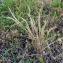 Emmanuel Stratmains - Vulpia ciliata Dumort.