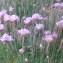 Genevieve Botti - Armeria maritima Willd.