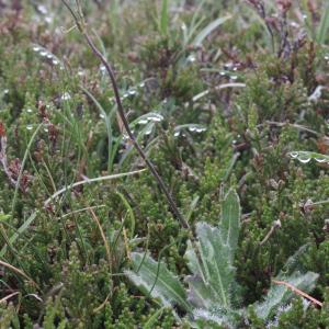 - Biscutella laevigata subsp. laevigata