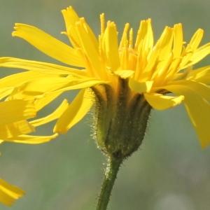 - Crepis mollis (Jacq.) Asch. [1864]