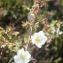 Liliane Roubaudi - Rosa pimpinellifolia L. [1759]