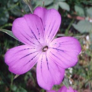Photographie n°80247 du taxon Agrostemma githago L. [1753]
