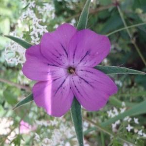 Photographie n°80248 du taxon Agrostemma githago L. [1753]