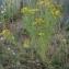 Vincent Jouhet - Hypericum perforatum L.