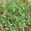 Vincent Jouhet - Trifolium repens L. [1753]