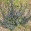 Vincent Jouhet - Echium vulgare L.