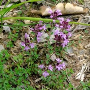 - Thymus praecox subsp. ligusticus (Briq.) Paiva & S.Rodr.Salg. [1994]