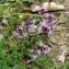 Jean-Luc Gorremans - Thymus praecox subsp. ligusticus (Briq.) Paiva & S.Rodr.Salg. [1994]