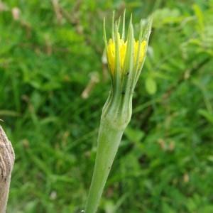 Photographie n°80451 du taxon Tragopogon dubius Scop. [1772]
